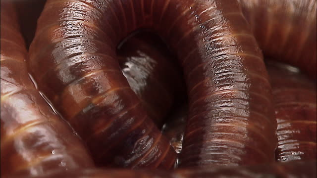 earthworms (oligochaeta) slither over each other, england - worm stock videos and b-roll footage
