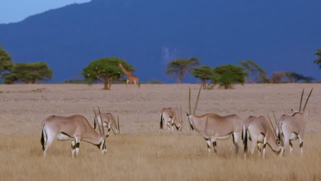 East African Oryx Grazing Samburu  Kenya  Africa