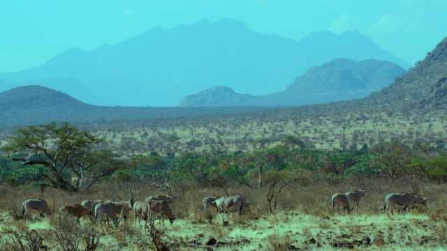 East African Oryx & Landscape Samburu  Kenya  Africa
