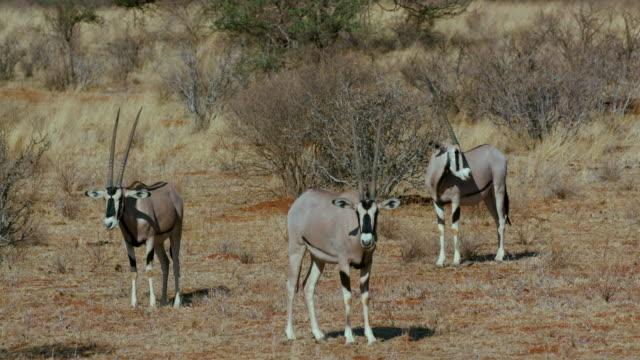 East African Oryx Observing Samburu  Kenya  Africa