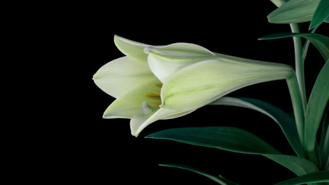 easter lily bloom time lapse - lily stock videos & royalty-free footage