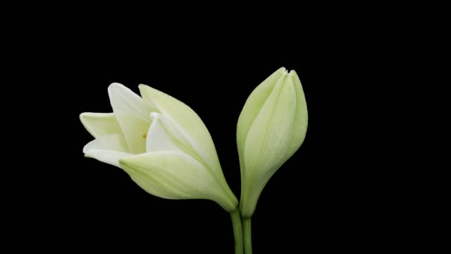 easter lily blooming time lapse - lily stock videos & royalty-free footage
