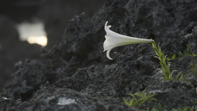 easter lily (lilium longiflorum) grows amongst dark soil. japan. - lily stock videos & royalty-free footage