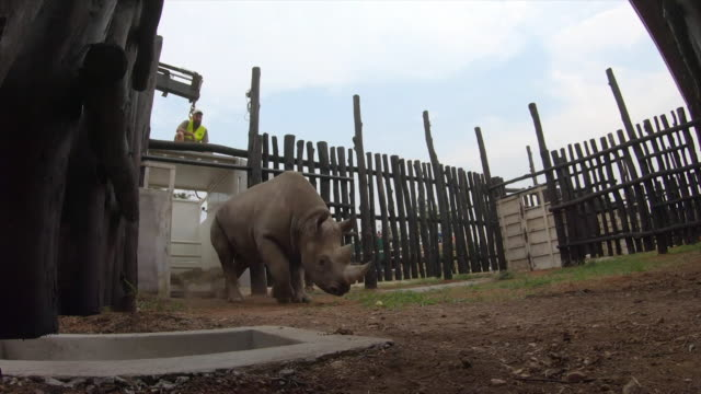 Eastern Black Rhino arrives in its pen at Akagera National Park Rwanda after being relocated from Czech Republic
