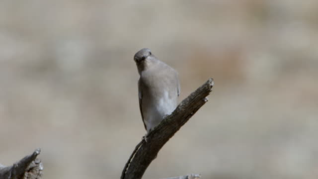 ms eastern bluebirds perched on dead tree branch / wind cave national park, south dakota, united states - south dakota stock-videos und b-roll-filmmaterial