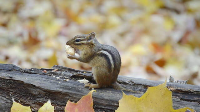 cu eastern chipmunk (tamius striatus) chewing open peanut shell on  log amidst autumn leaves / valparaiso, indiana, united states - streifenhörnchen stock-videos und b-roll-filmmaterial