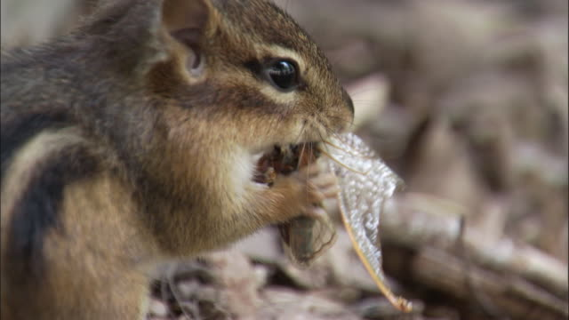 eastern chipmunk feeds on cassin's periodic cicada, indiana, usa - tamia striato video stock e b–roll