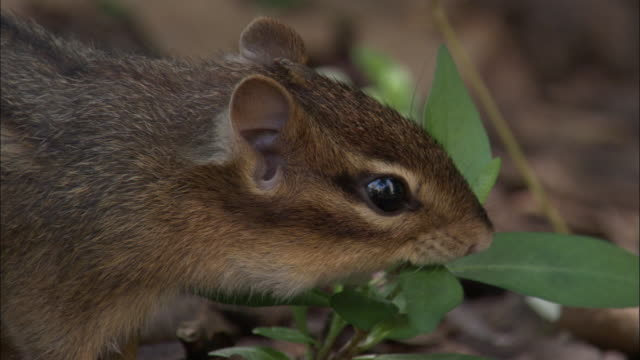eastern chipmunk forages on forest floor, indiana, usa - chipmunk stock videos & royalty-free footage