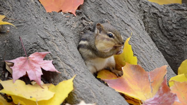 cu eastern chipmunk (tamius striatus) gathering food from under autumn leaves / valparaiso, indiana, united states - streifenhörnchen stock-videos und b-roll-filmmaterial