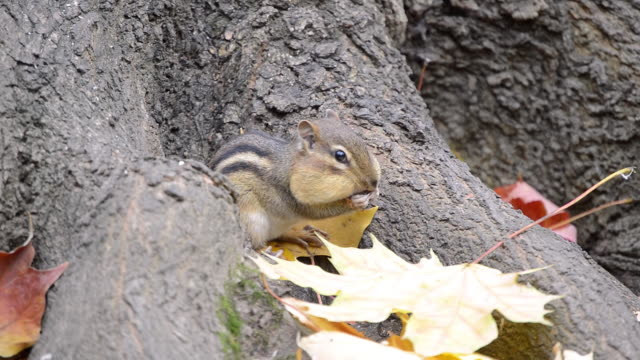 cu eastern chipmunk (tamius striatus) gathering seeds and peanut pieces at base of large tree amidst autumn leaves / valparaiso, indiana, united states - north america stock videos & royalty-free footage