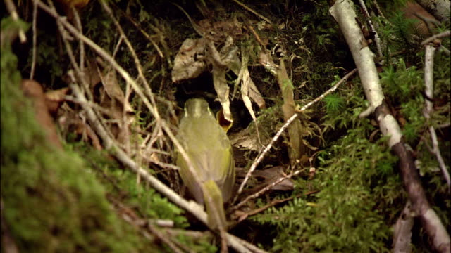 Eastern Crowned Warblers carry food back to nest for chicks, Japan