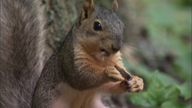 eastern fox squirrel feeds on cassin's periodic cicada, indiana, usa - squirrel stock videos and b-roll footage