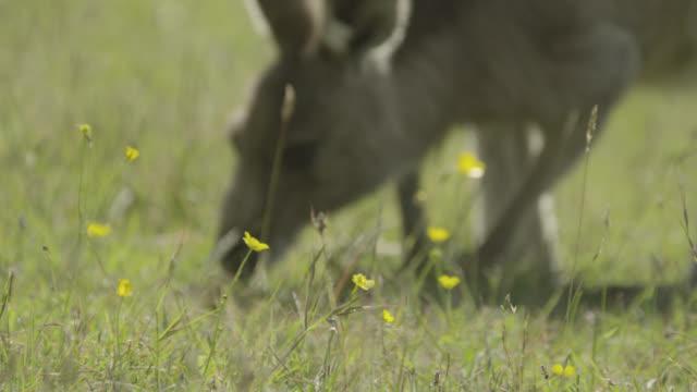 vídeos y material grabado en eventos de stock de eastern grey kangaroo grazes, australia - ranúnculo
