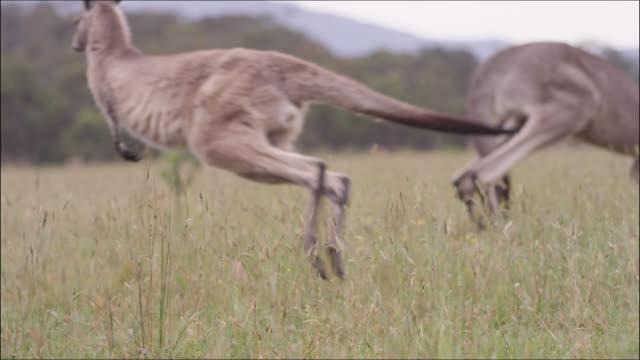 eastern grey kangaroo hops away, australia - animals in the wild stock videos & royalty-free footage