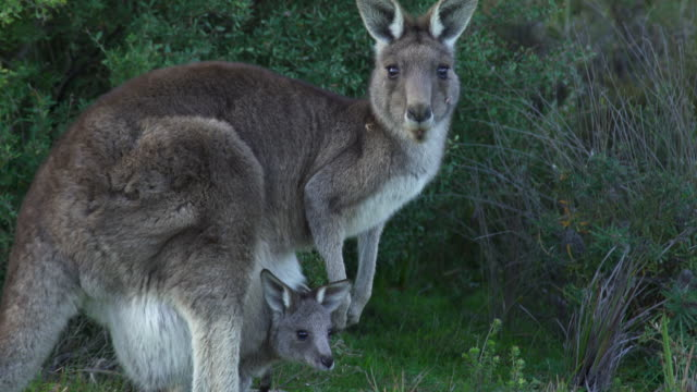 eastern grey kangaroo joey - beuteltier stock-videos und b-roll-filmmaterial