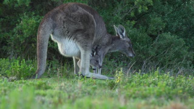 eastern grey kangaroo mother walking with joey - beuteltier stock-videos und b-roll-filmmaterial