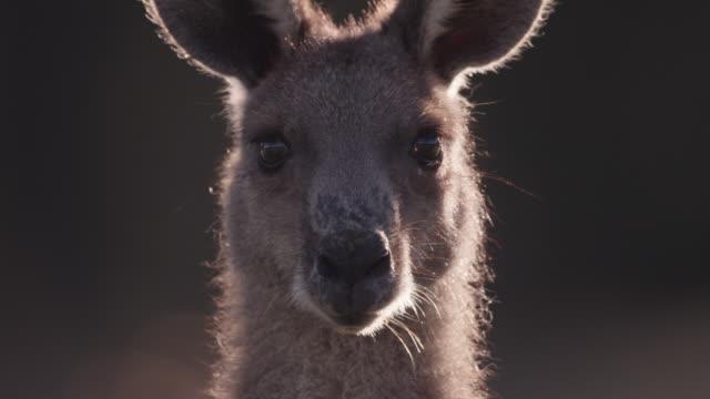 eastern grey kangaroo peers at camera, australia - カンガルー点の映像素材/bロール