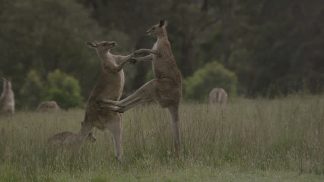 eastern grey kangaroos fight in meadow, australia - カンガルー点の映像素材/bロール