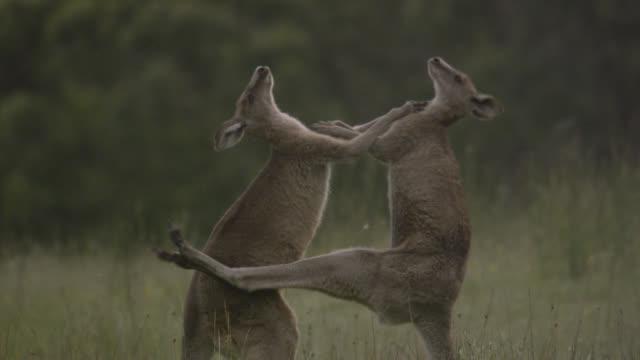 vidéos et rushes de eastern grey kangaroos fight in meadow, australia - claw