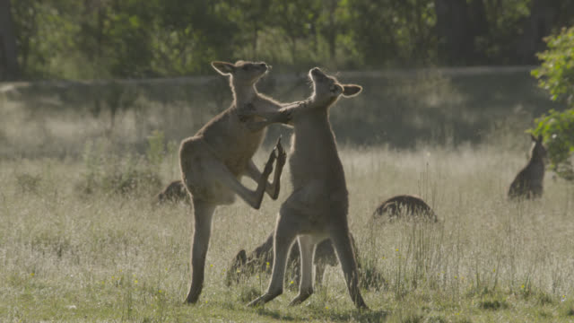 stockvideo's en b-roll-footage met eastern grey kangaroos fight in meadow, australia - kleine groep dieren