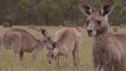eastern grey kangaroos graze, australia - 有袋類点の映像素材/bロール