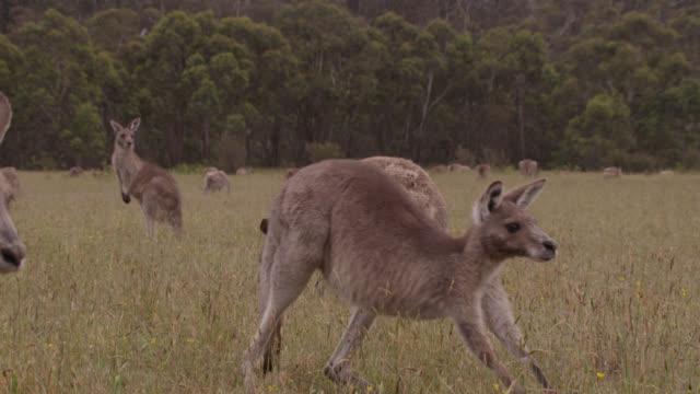 eastern grey kangaroos in meadow, australia - gruppo medio di animali video stock e b–roll