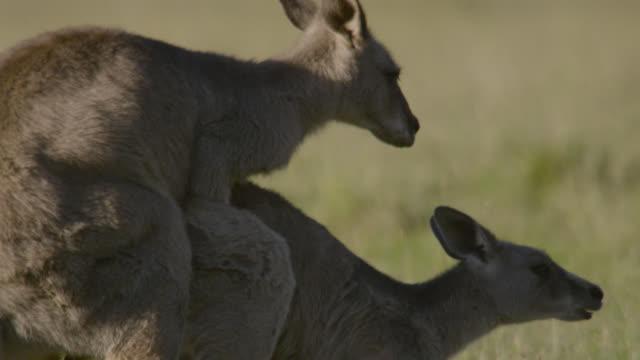 eastern grey kangaroos mate in meadow, australia - känguru bildbanksvideor och videomaterial från bakom kulisserna