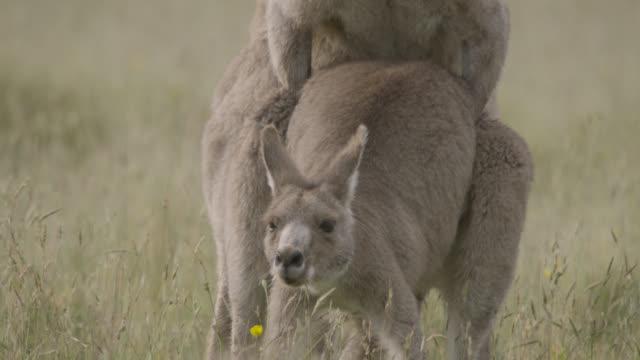 eastern grey kangaroos mate in meadow, australia - weibliches tier stock-videos und b-roll-filmmaterial