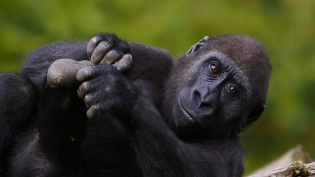 vídeos de stock e filmes b-roll de eastern lowland gorilla, gorilla gorilla graueri, female resting, grooming, real time 4k - pé