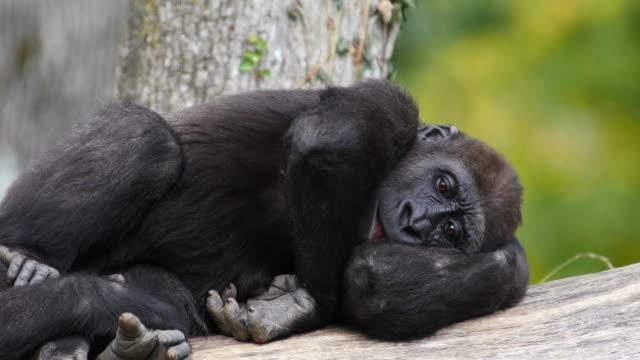 Eastern Lowland Gorilla, gorilla gorilla graueri, Female resting, real Time 4K