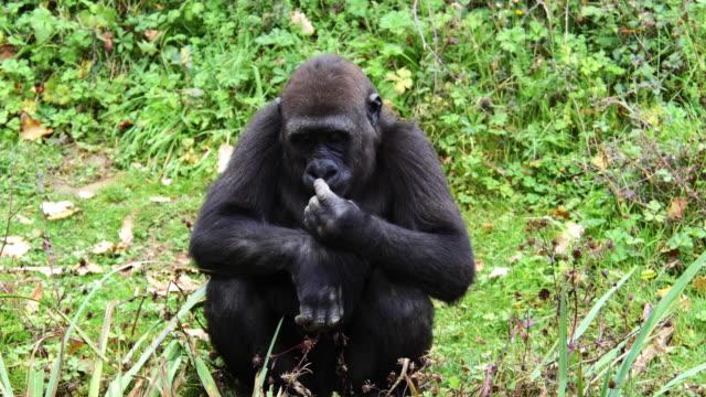 Eastern Lowland Gorilla, gorilla gorilla graueri, Female sitting, real Time 4K
