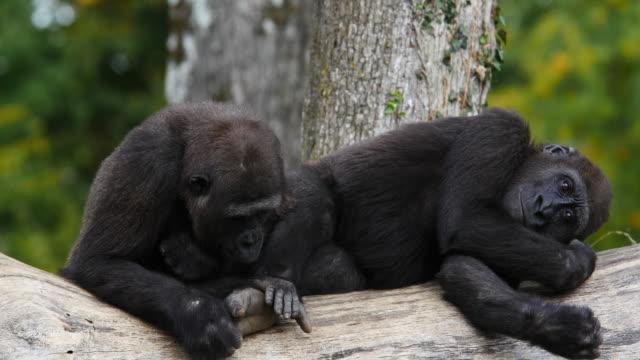 Eastern Lowland Gorilla, gorilla gorilla graueri, Females resting, real Time 4K