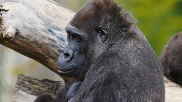 eastern lowland gorilla, gorilla gorilla graueri, portrait of female, real time 4k - female animal stock videos & royalty-free footage