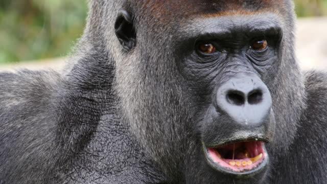 Eastern Lowland Gorilla, gorilla gorilla graueri, Portrait of Male, real Time 4K