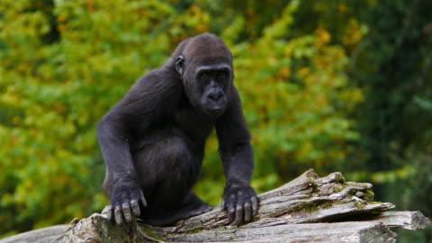 eastern lowland gorilla, gorilla gorilla graueri, young clapping, real time 4k - monkey stock videos & royalty-free footage