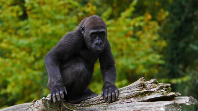 eastern lowland gorilla, gorilla gorilla graueri, young clapping, real time 4k - cute stock videos & royalty-free footage