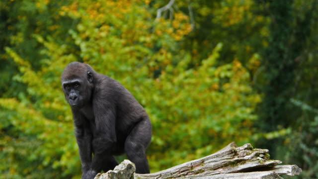 Eastern Lowland Gorilla, gorilla gorilla graueri, Young Sitting, real Time 4K