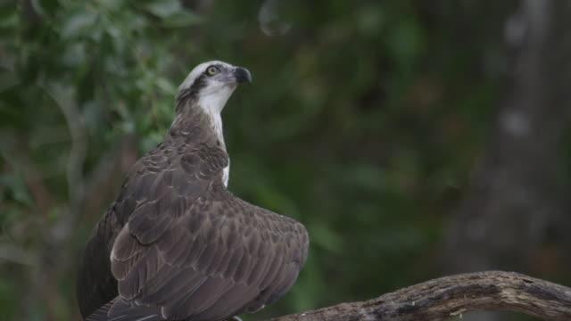 eastern osprey perched on branch - osprey stock videos & royalty-free footage
