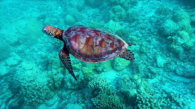 eastern pacific green sea turtle - guam stock videos and b-roll footage