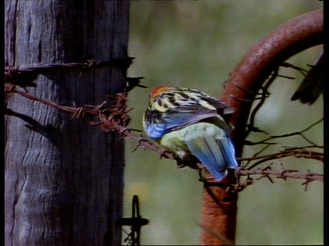 eastern rosella waddling along fencing wire, hopping up onto fence post - waddling stock videos & royalty-free footage