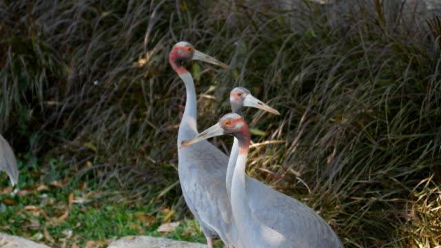 eastern sarus crane - east asia stock videos & royalty-free footage