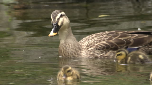 eastern spot-billed duck family, shizuoka, japan - jungvogel stock-videos und b-roll-filmmaterial