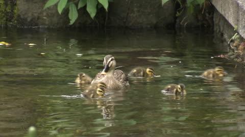eastern spot-billed duck family, shizuoka, japan - jungvogel stock-videos und b-roll-filmmaterial