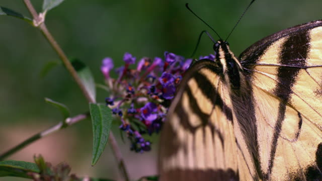 ECU TU TD SLO MO Eastern Swallowtail butterfly sipping nectar from butterfly bush and flying away / Morristown, New Jersey, USA