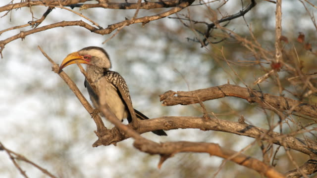 Eastern Yellow billed hornbill looks around in tree.