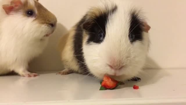 eating a strawberry takes dedication and in this video only one of two guinea pigs really has what it takes to nibble through its meal. it was round... - custard stock videos & royalty-free footage