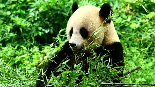 eating bamboo leaves panda - threatened species stock videos & royalty-free footage