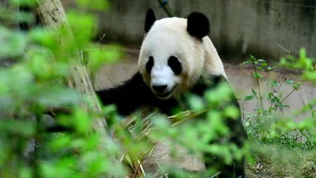 Essen giant panda