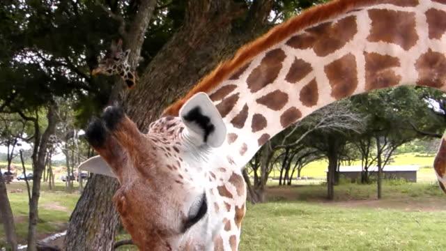 vídeos de stock, filmes e b-roll de comendo girafa de - alimentar