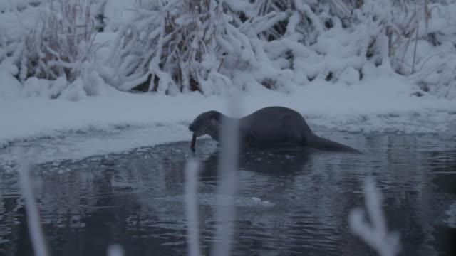 eating otter - eurasian otter stock videos & royalty-free footage